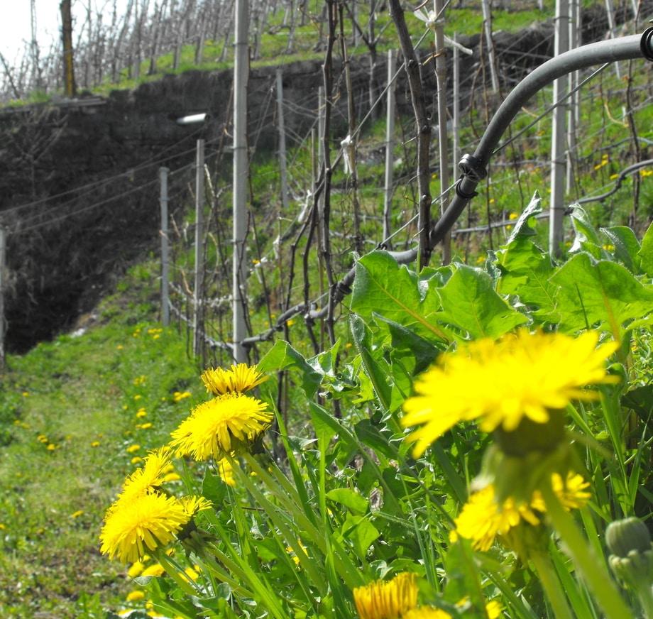 Primavera in vigna LasteRosse